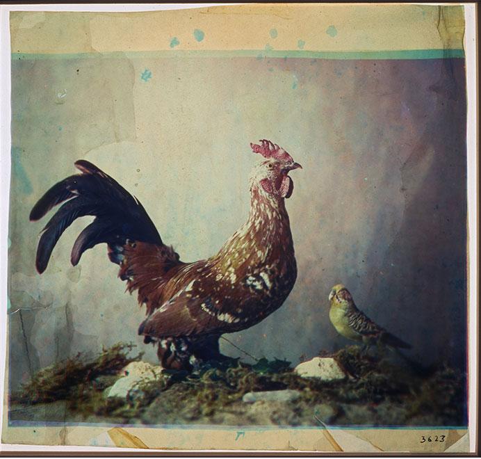 在 1869 年至1879年间,豪隆使用减色法制作了这幅公鸡影像,影像借助的虫胶漆由三层染色胶制成,在照片边缘处可以看出三种不同的颜色。